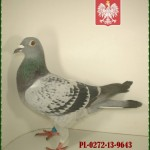 m-sasinski-golab-2